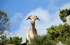 White goat in the wild nature Stock Photo