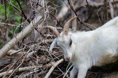 White  goat in wildlife Stock Photos