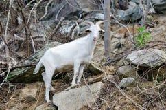 White  goat in wildlife Royalty Free Stock Photos