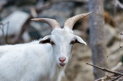 White  goat in wildlife Royalty Free Stock Images