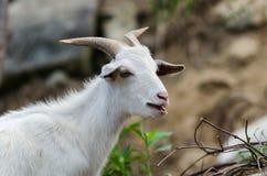 White  goat in wildlife Stock Photo