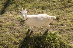 White goat on winter grass, Crodo, Ossola Royalty Free Stock Photo