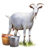 White Goat With Buckets Full Of Milk. Stock Photo