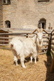 White goat in  wooden stall Royalty Free Stock Images