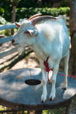 White Goat Stock Photography