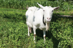 White goat. The young goat grazes on meadow. Shallow depth of field Royalty Free Stock Photography