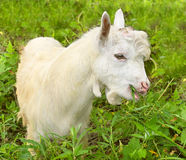 White Goatling at grass Village field Royalty Free Stock Photo