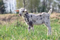 White goatling with grey spots. Portrait of spotted little goatling in the meadow, White goat with gray spots royalty free stock photos