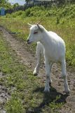 A white goatling is standing on a green glade royalty free stock image
