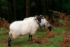 White goats. Two white mountain goats eating grass in nature Stock Images