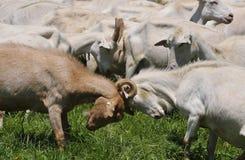 White Goats Stock Image