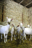 White Goats. Young goat herd is the stone barn - hight Stock Images