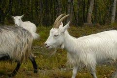 White goats Stock Photo