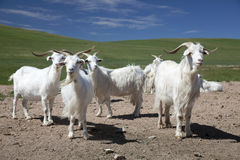White goats Stock Photo