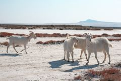 White goats Stock Photography