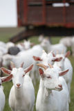 White goats Royalty Free Stock Photos