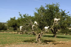 White goats in an Argan tree Stock Image