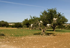 White goats in an Argan tree Royalty Free Stock Images