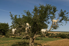 White goats in an Argan tree Royalty Free Stock Photo