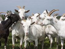 White goats and a black one outside in meadow against blue cloud Stock Photos