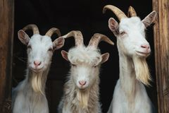 White goats in the doorway Royalty Free Stock Image