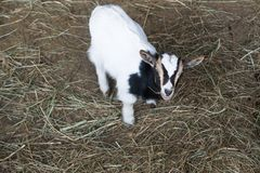 White goats in the enclosure, breeding of small cattle royalty free stock image