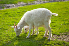 White goats on farm Stock Image