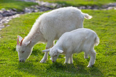White goats on farm Stock Photography