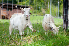 White goats Royalty Free Stock Photography