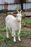 White Goats feeding. Goats feeding in the outdoor farm Stock Photo