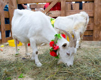 White goats with floral collars eat hay Stock Photos