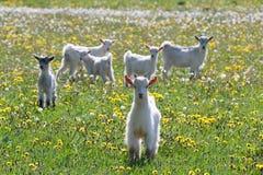 White goats frolic Stock Image