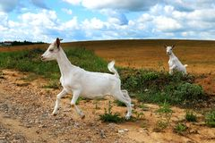 White goats gallop stock images