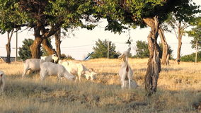 White goats grazing under the trees. At sunny day stock video footage