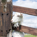White goats in green grassy dutch meadow behind wooden fence Royalty Free Stock Photography