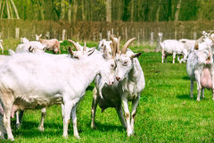 White Goats In The Countryside Stock Photos