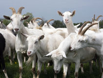 White goats outside in meadow against blue cloudy sky Royalty Free Stock Images