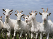 White goats outside in meadow against blue cloudy sky Stock Photography
