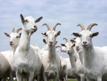 White goats outside in meadow against blue cloudy sky Royalty Free Stock Photography