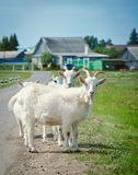 White goats are on the road. White cute goat stopped on the road in the village royalty free stock photo