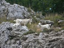 White goats on the rock Stock Images