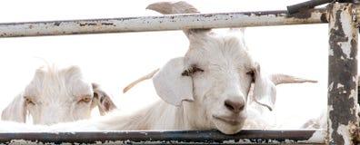 White Goats Royalty Free Stock Image