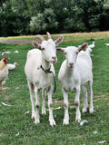 White goats Royalty Free Stock Image