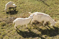 White goats on winter grass, Crodo, Ossola Stock Image