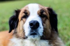 White and gold dog face. On the green background Stock Photo