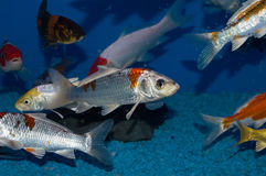 White and Gold Japanese Koi stock images