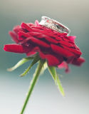 White gold wedding ring on red rose flower Royalty Free Stock Photo