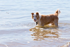 White and golden brown Border Collie Dog playing in shallow wate. White and golden brown Border Collie Dog playing outdoors in shallow water at beach Stock Photos