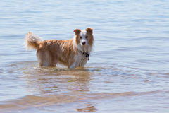 White and golden brown Border Collie Dog playing in shallow wate. White and golden brown Border Collie Dog playing outdoors in shallow water at beach Stock Images