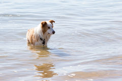 White and golden brown Border Collie Dog playing in shallow wate. White and golden brown Border Collie Dog playing outdoors in shallow water at beach Stock Image